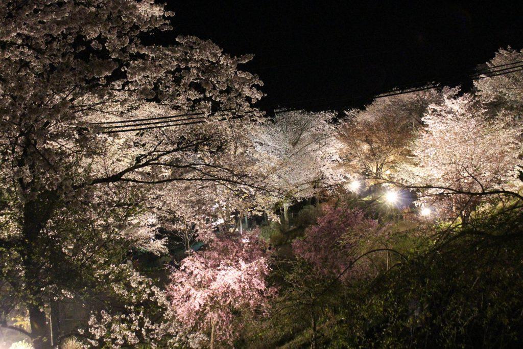 ライトアップされた桜が吉野山を幻想的な雰囲気に彩る