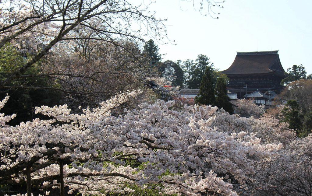 13日、満開となった「下千本」の桜